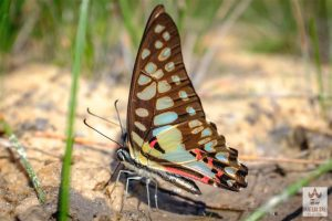 Papillons à Banteay Srey
